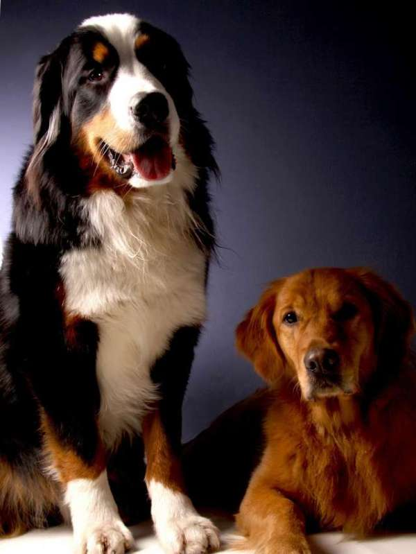 bernese-mountain-dog-golden-retriever-photo