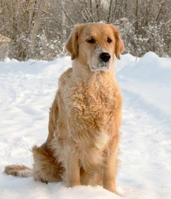 golden-retrievers-in-snow