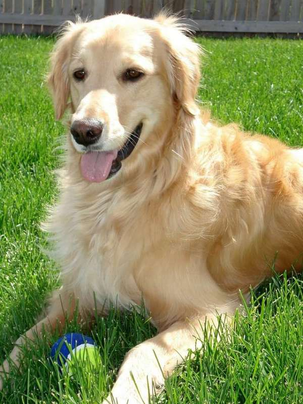pictures-golden-retrievers