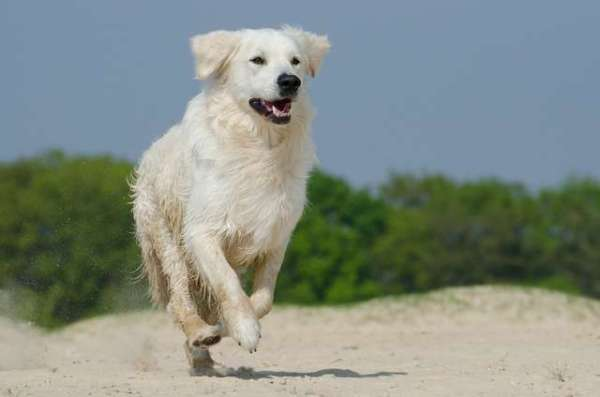 picture-of-a-golden-retriever-dog-running