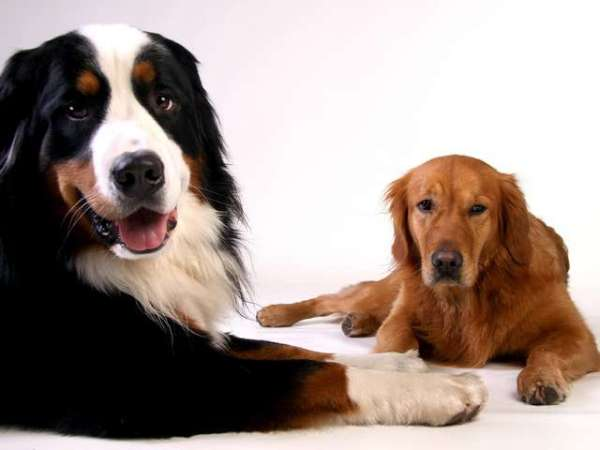 photo-of-golden-retriever-bernese-mountain-dog