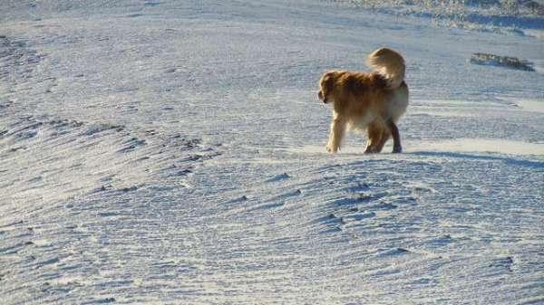 golden-retriever-dog-wandering