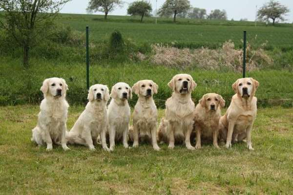pack-of-golden-retrievers
