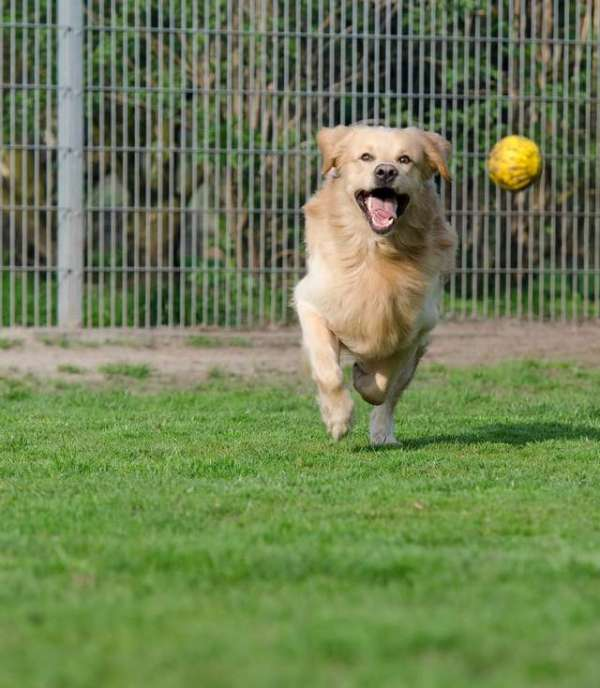 image-of-golden-retriever