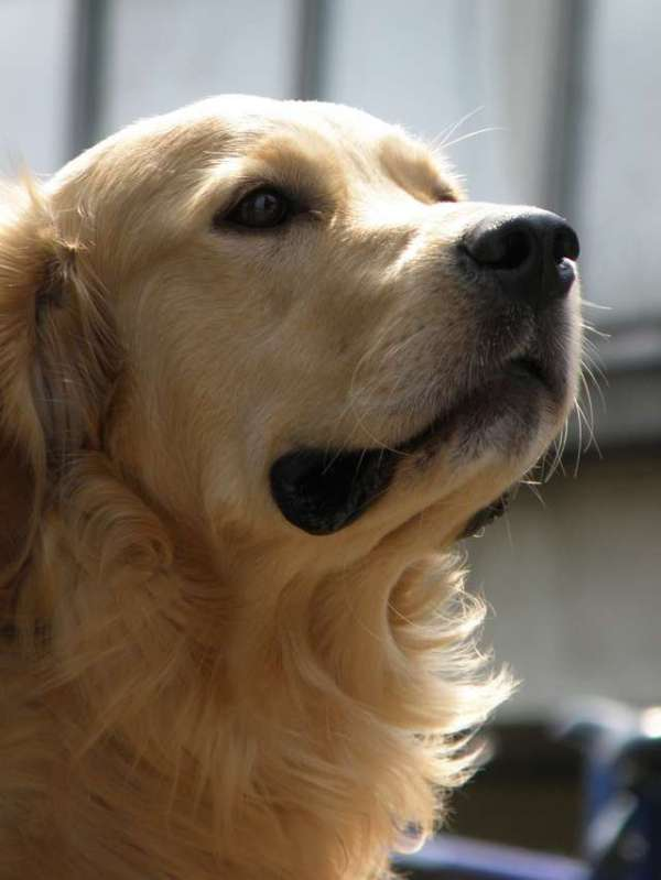 picture-golden-retriever