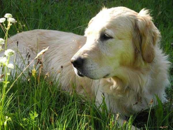 picture-golden-retriever-white