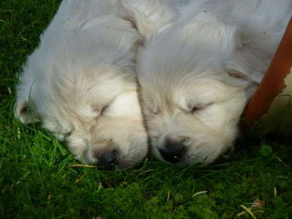 images-golden-retriever-puppies