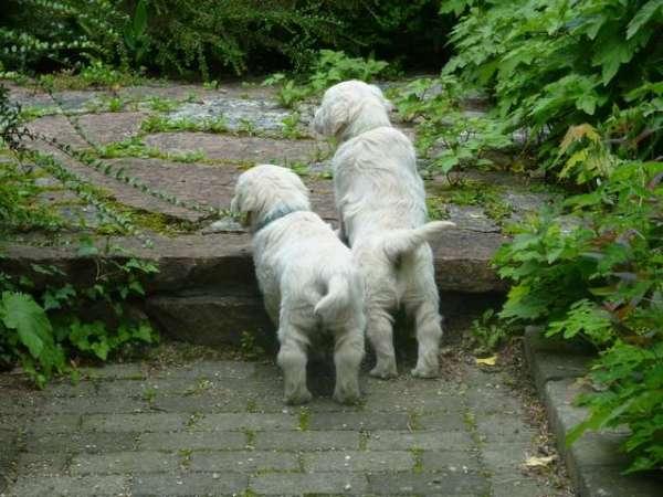 golden-retriever-puppies-pictures