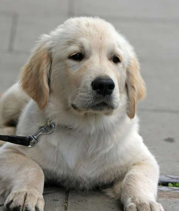 picture-of-golden-retriever-puppy