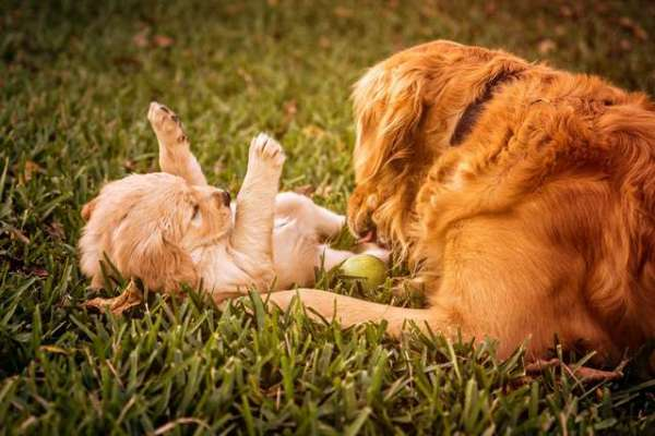 puppy-pictures-golden-retrievers