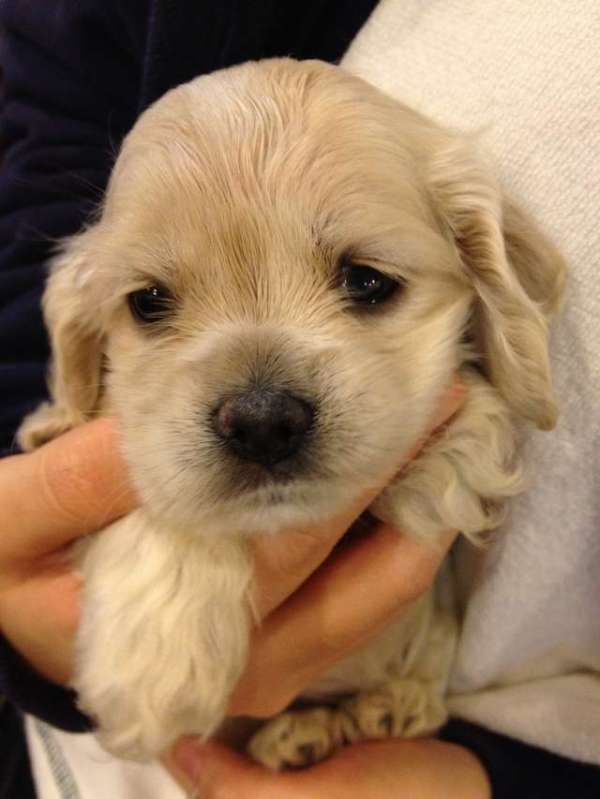 golden-retriever-puppy-pictures-free