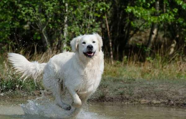 golden-retriever-image