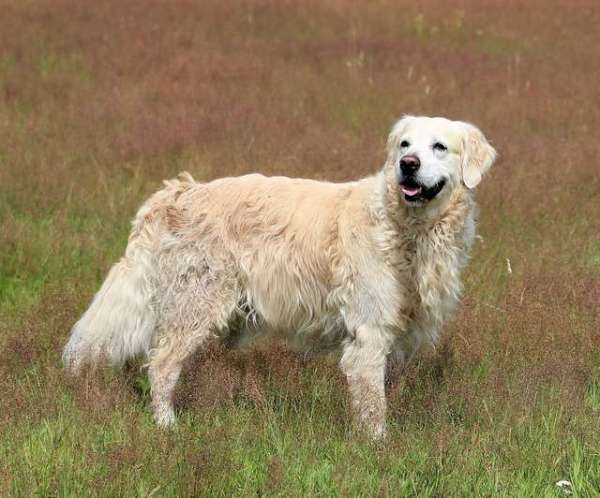 image-of-golden-retriever-nature