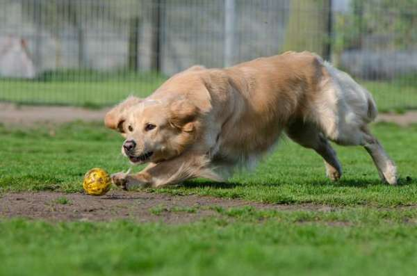 pictures-of-golden-retriever-dogs