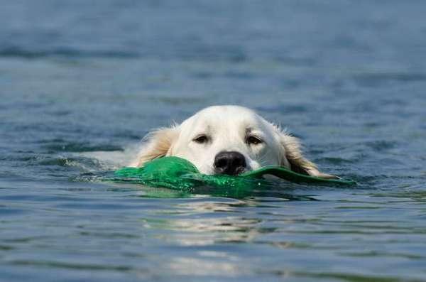 image-of-golden-retriever-dog
