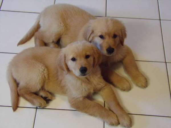 pictures-of-puppies-golden-retriever