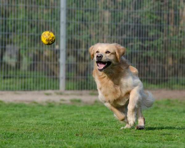 images-golden-retriever-dogs