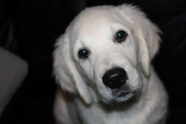 image-golden-retriever-puppy