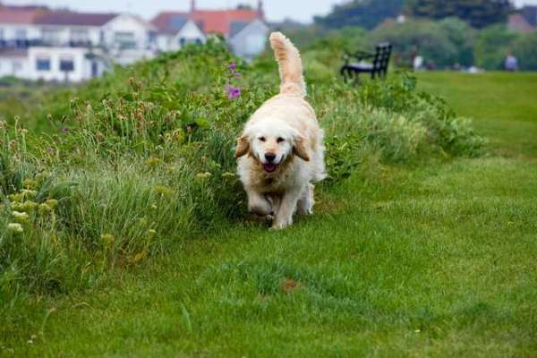 golden-retriever-dogs-pictures