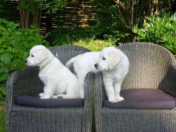 photos-of-golden-retriever-puppies