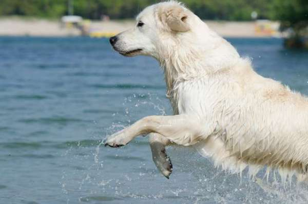 pictures-of-white-golden-retrievers