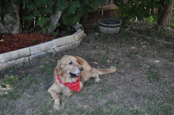 images-for-golden-retrievers