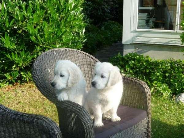 pictures-of-puppies-golden-retriever