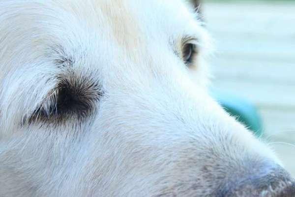 golden-retriever-dog-free-photo