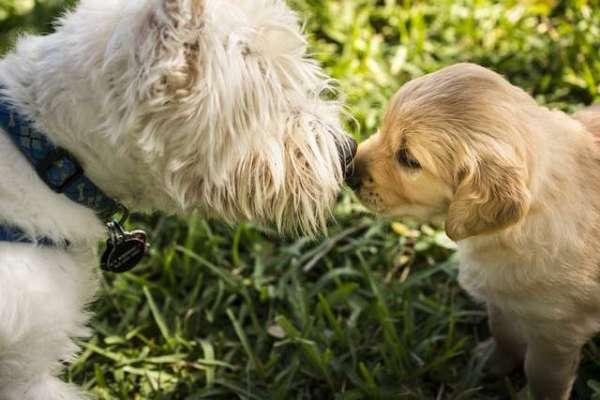 golden-retriever-puppies-pictures-cute